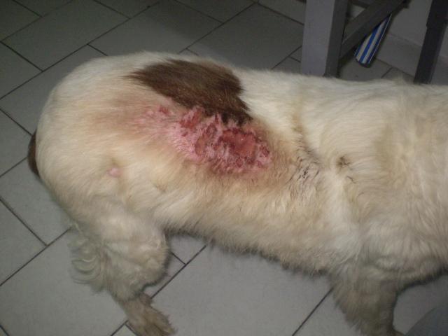 enfermedad en la piel de los perros: